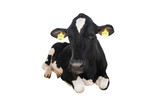 sitting cow isolated
