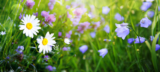 Summer field with white daisies and campanula flowers. © Swetlana Wall