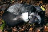 Fox black-silver - 243902551