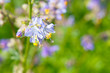 Polemonium caeruleum or jacob's-ladder or greek valerian blue flowers