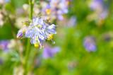Polemonium caeruleum or jacob's-ladder or greek valerian blue flowers - 243912350