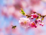 Bee flying to pink cherry blossoms - 243913152