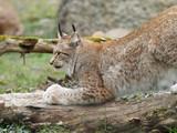 Lynx boréal ou lynx d'Eurasie (Lynx lynx) vivant dans les forêts boréales - 243922143