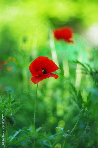 bright red poppy flowers - 243926797