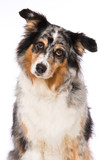 Australian shepherd dog sitting on white background - 243937521