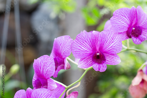 beautiful purple orchids flower with close up shot. - 243941701