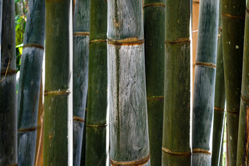 Fresh, green bamboo sticks. Bamboo sticks closeup. Abstract scenery. Nature scenery. © Marija Vujosevic