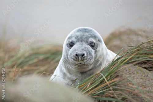 Leinwandbild Motiv grey seal, halichoerus grypus, Helgoland