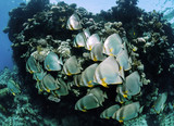 The batfish group in the Red Sea.