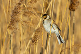 Reed bunting (Emberiza schoeniclus) sitting on a reed - 243948791