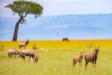 Fototapeta Sawanna - Topi-Antilopen in der Wildnis Kenias © Martina Schikore