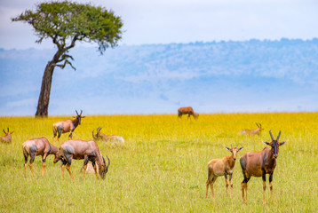 Topi-Antilopen in der Wildnis Kenias