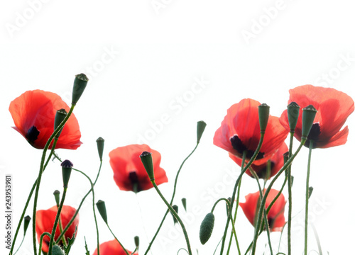 field of red poppies - 243953981