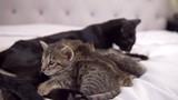 Black Savannah cat cleans 4 week old kittens on bed, medium, slow motion - 243971301