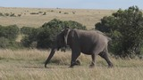 African Elephant, loxodonta africana, Adult running through savannah, Masai Mara Park in Kenya, slow motion - 243983988