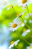 Margeriten - Heilpflanze