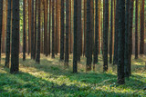 Fototapeta Las - Forest of Pine Trees with Heather undergrowth © AVTG