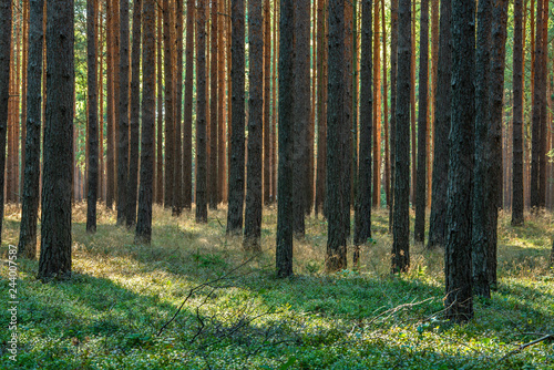 Forest of Pine Trees with Heather undergrowth - 244007587