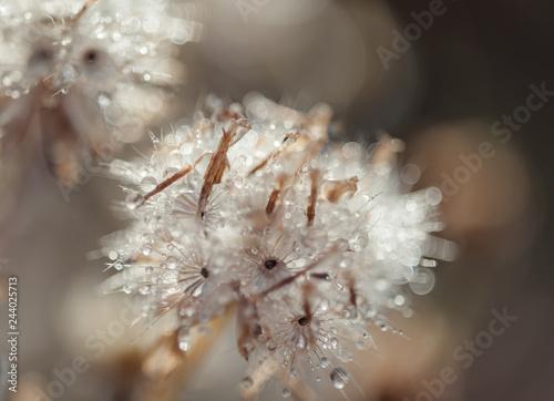 Dew drop on dandelion flower - 244025713