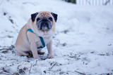 sad pug dog sitting alone in the snow. concept of abandoned, lost dogs. - 244036542
