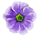 purple violet flower isolated on white background. For design. Close-up. Nature. - 244038121
