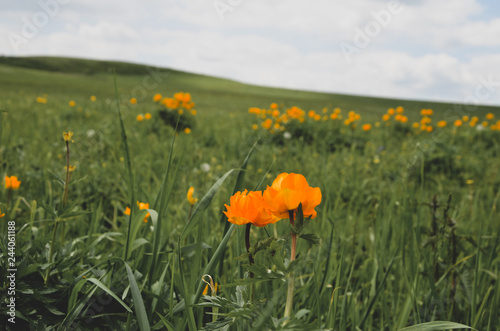 trollius in a field - 244061188