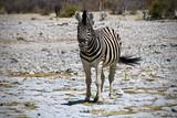 Fototapeta Fototapeta z zebrą - zebra © MkGraph