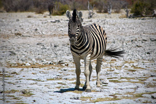 zebra - 244063968