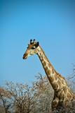 giraffe in africa - 244068390