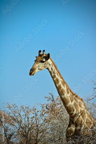 Poster giraffe in africa