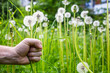 field with lots of white dandelions and hand is holding two flowers