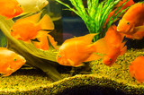 Tropical aquarium fish Gold Severum Cichlid on a water plants background - 244077726