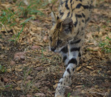 A cute and small Serval staring at us in a game reserve - 244080946