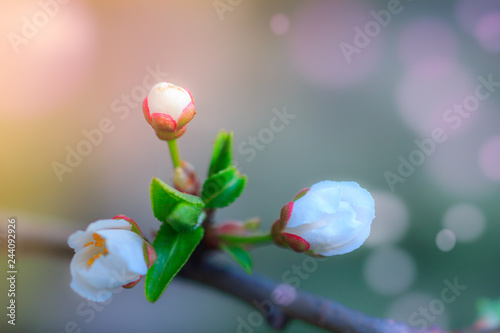 Wall mural Spring Nature. Blossoming of fruit tree with bokeh light background. View close-up of branch with white flowers and buds in bright colors. Selective Focus and blur background.