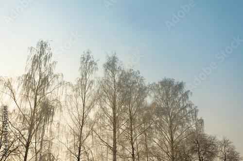 snowy birch in a winter landscape - 244095548