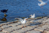River gulls (one of them with prey in the mouth) and one raven in the port of Ohrid Lake, Macedonia
