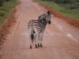 Fototapeta Fototapeta z zebrą - Zebra blickt zurück © Damian