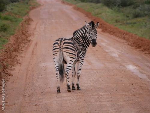 Zebra blickt zurück - 244106564