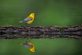 Prothonotary Warbler Reflection