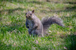 Eastern Gray Squirrel on green grass