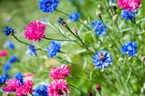 Bee on blue cornflower or bachelor's button, Centaurea cyanus, in garden of blue and pink flowers