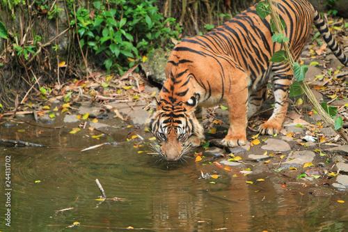 Poster Sumatran tigers are drinking water