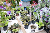 Russia, Khabarovsk, August 18, 2018: sale of flowers of violets at harvest festival - 244133903