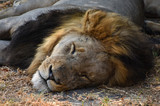 Dominant male lion snozzing in the heat of the day - 244137317