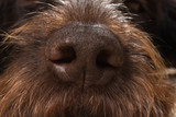 the big brown dog nose - 244145357