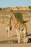Giraffes at a waterhole - 244145511