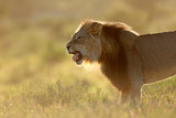 Male African lion at sunrise