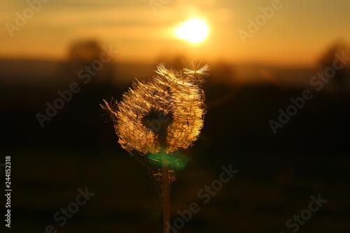 Sonnenuntergang vor Pusteblume in Feld im Frühling - 244152318