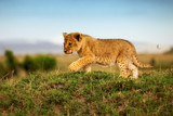 Fototapeta Sawanna - Löwe - Löwenbaby erkundet die Welt der Savanne © JoFi