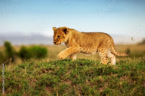 Löwe - Löwenbaby erkundet die Welt der Savanne © JoFi
